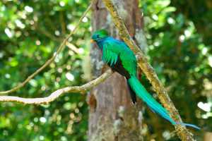 Resplendent Quetzal in Costa Rica's cloud forest - Costa Rica-Cosmic Travel